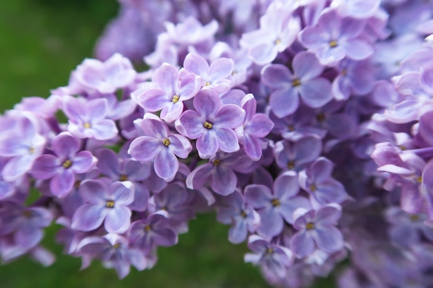 Spring blooming lilac in a garden