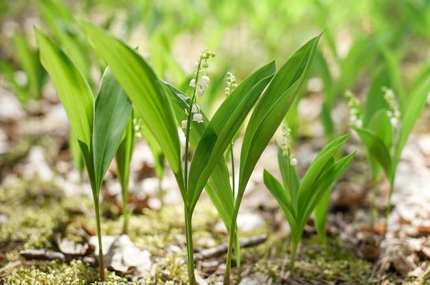 Весной цветущий ландыш зеленая трава фон в солнечном свете