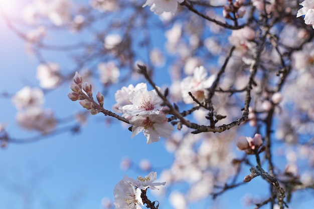 Spring blooms. beautiful almond tree flowers against the blue sky. spring flowers. beautiful garden in spring time.
