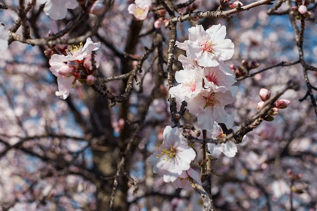 Spring blooms . beautiful nature scene with flowering almond tree on a sunny day. spring flowers. beautiful garden in spring time.