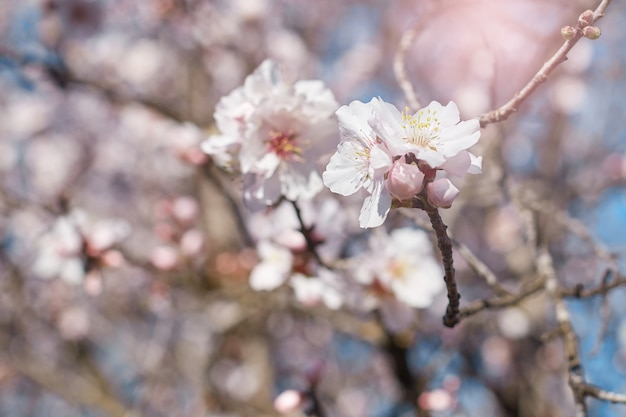 Spring blooms. beautiful nature scene with flowering almond tree on a sunny day. spring flowers. beautiful garden in spring time.