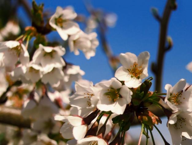 Spring blossom cherry, and blue sky background.