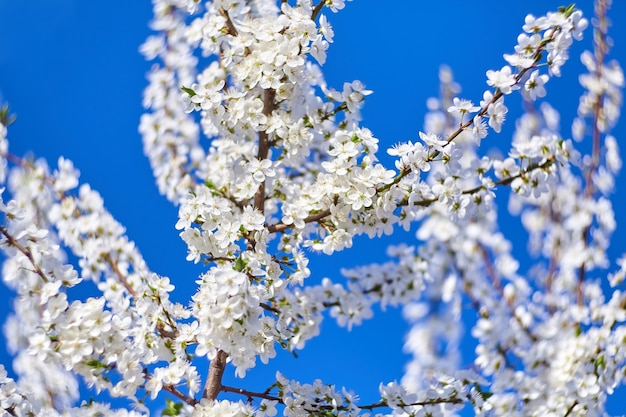 Spring blossom cherry plum tree with white flowers on blue sky background