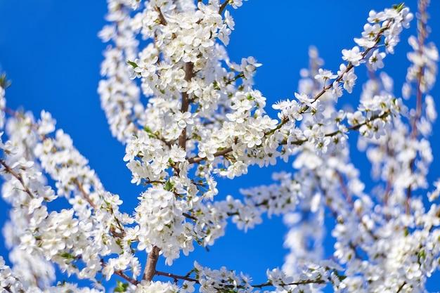 Весеннее цветение алычи с белыми цветами на фоне голубого неба