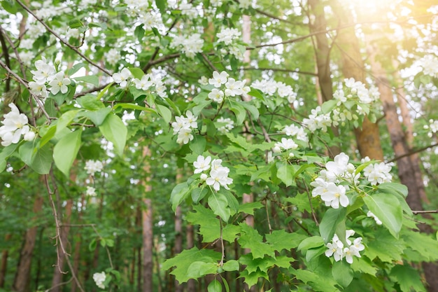 봄 꽃 개념입니다. 태양 빛 배경으로 아름 다운 사과 나무 가지
