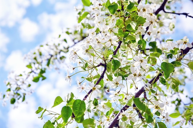 Spring blossom pear tree with white flowers on blue sky background