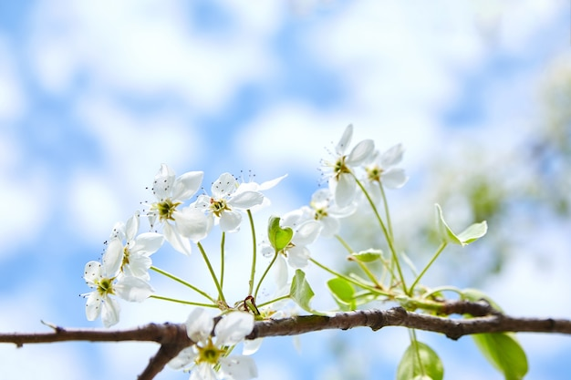 Spring blossom pear tree with white flowers