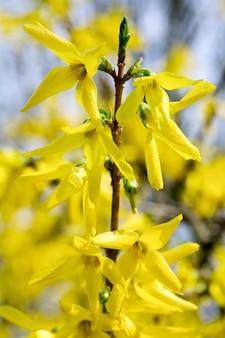 Весной цветущая веточка желтого куста форзиции (на цветущем фоне)