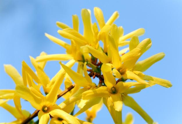 Весной цветущая веточка желтого куста форзиции (на фоне голубого неба)