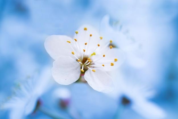 부드러운 파란색 배경에 나무에 봄 꽃이 만발한 흰색 봄 꽃