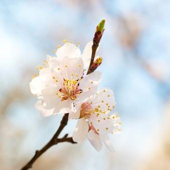 Весенние цветущие белые весенние цветы на дереве на мягком цветочном фоне