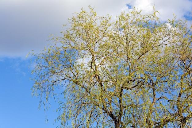 하늘 배경에 봄 꽃이 만발한 버드 나무