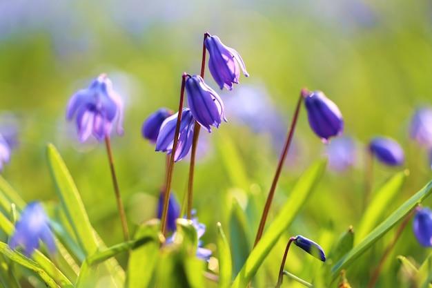 春の青い花ぼやけた花畑の壁に草の青い鐘のクローズアップ青と緑の色の春の花の壁