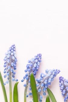 Весенние синие цветы мускари. цветы мускари на розовом пастельном фоне. весенняя открытка.