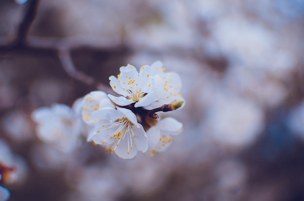 Spring border or background with pink blossom
