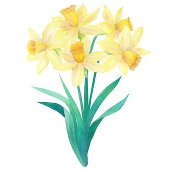 明るい黄色の水仙または水仙と葉の春の花束。 5つの花。手描きの水彩イラスト。白い壁に隔離。