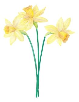 明るい黄色の水仙または水仙の春の花束。 3つの花。手描きの水彩イラスト。白い壁に隔離。
