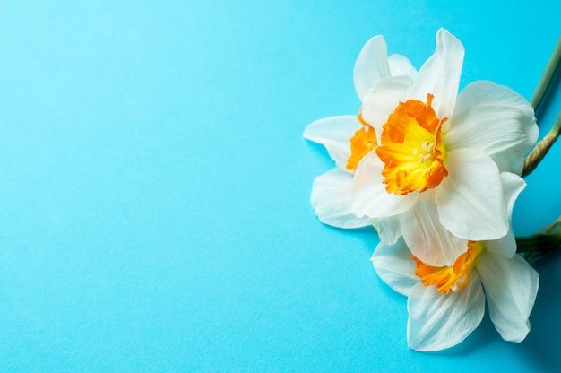 Весенний букет нарциссов на синей стене. плоский стиль вид сверху.