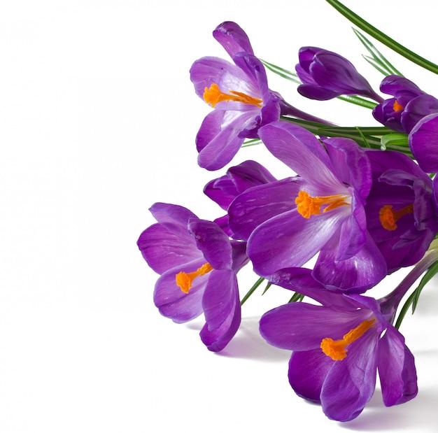 分離された紫のクロッカスの春の花束