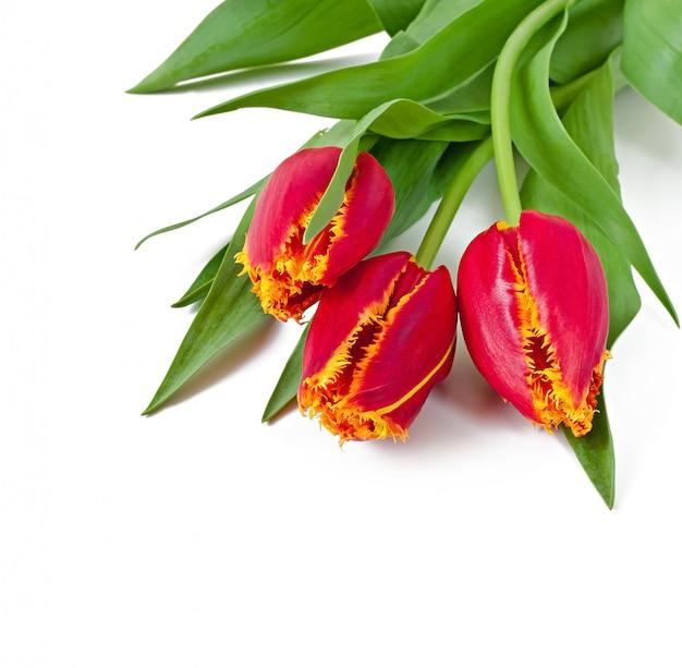 分離された赤いチューリップの春の花束