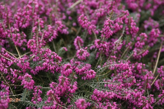Spring branch of blossom common heather
