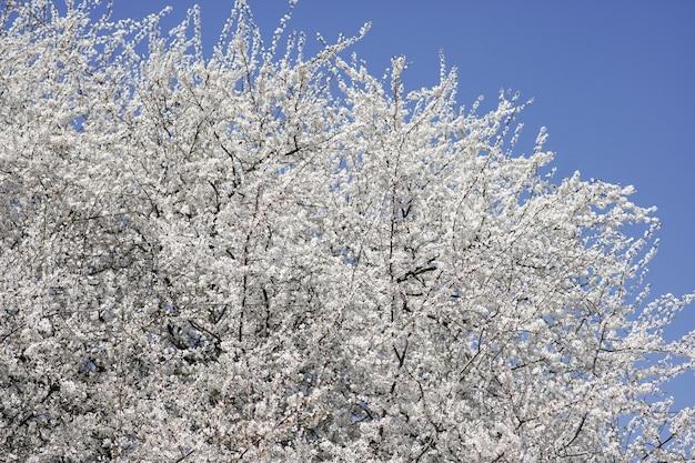 Весенняя ветка цветущего абрикоса на фоне голубого неба
