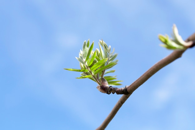 ナナカマドの春の枝、若い緑の葉を持つナナカマドのクローズアップの枝