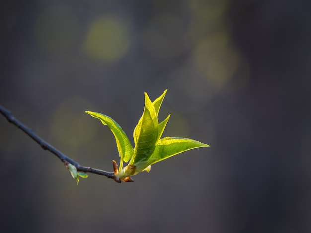 Spring branch with budding tree. natural spring background