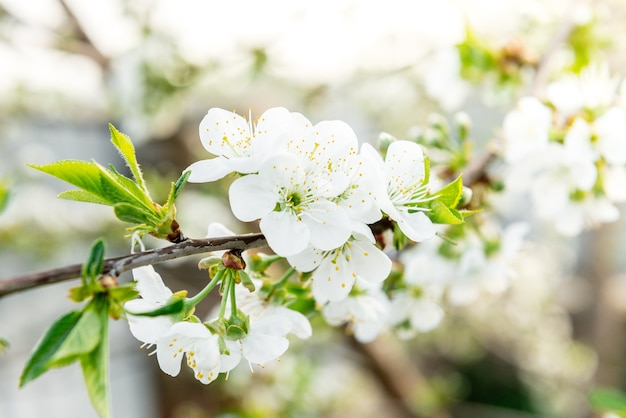 Spring branches of blossoming tree. cherry tree in white flowers. blurring background