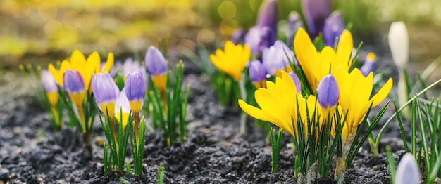 Spring bright background with blooming purple, lilac, yellow crocus flowers in early spring. crocus iridaceae (iris family), banner image with sun glare