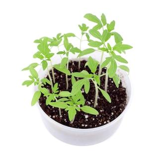 春の明るい緑の芽のクローズアップ