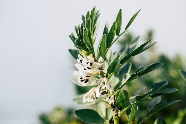 In spring, broad bean plants - vicia faba - bloom in orchards.