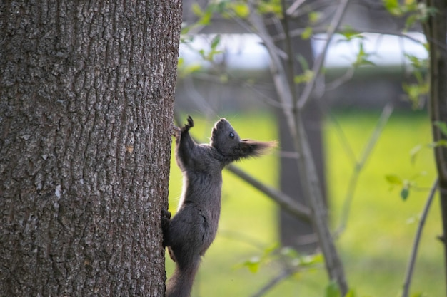 Spring  brown squirrel on a tree