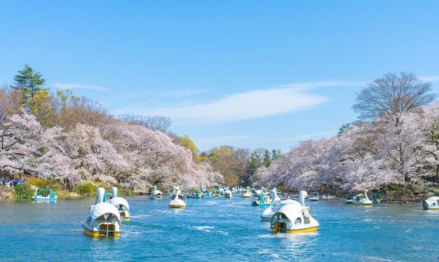 봄 벚꽃 나무와 사람들이 일본 치도리가 후치 공원에서 오리 보트를 타고 있습니다.