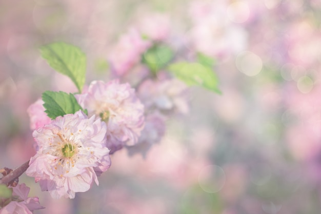 Spring cherry blossoms, pink flowers on pastel background