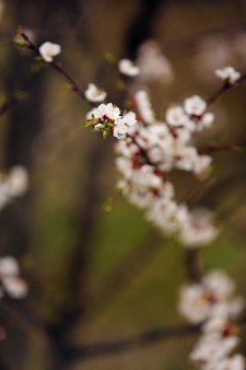 Spring cherry blossoms, sakura almond pink flowers