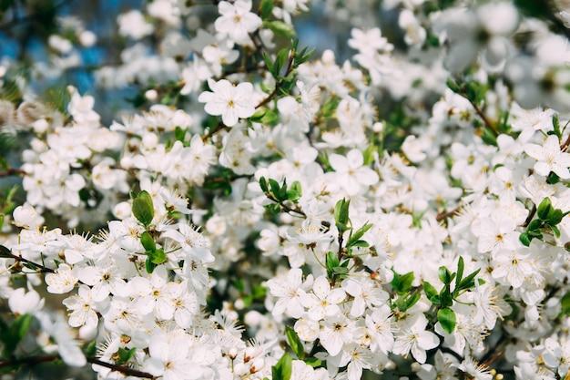 Весенняя цветущая сакура в городе