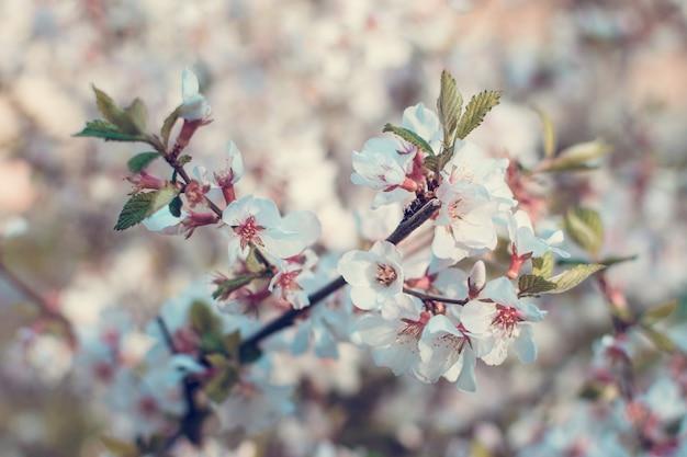 Весенние вишни белые цветы цветут