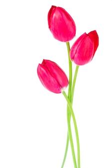 흰색에 고립 된 분홍색, 빨간색 아름다운 꽃과 꽃다발에 봄 컬러 튤립