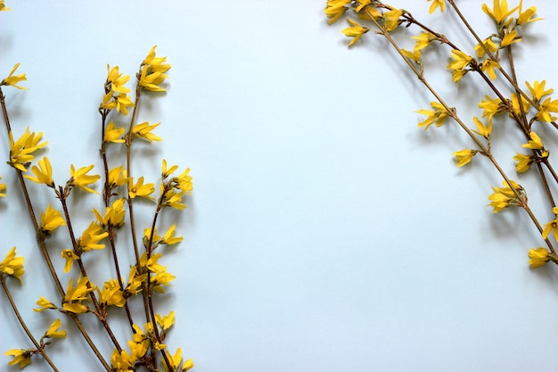 Spring composition of forsythia on a blue background.