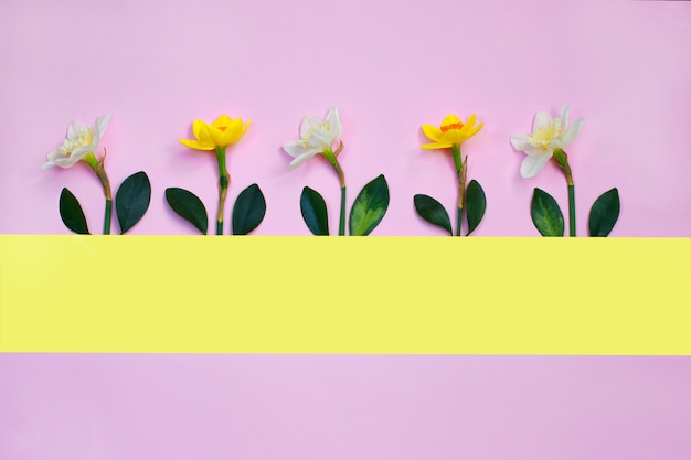 Spring composition made with daffodil flowers on pink background