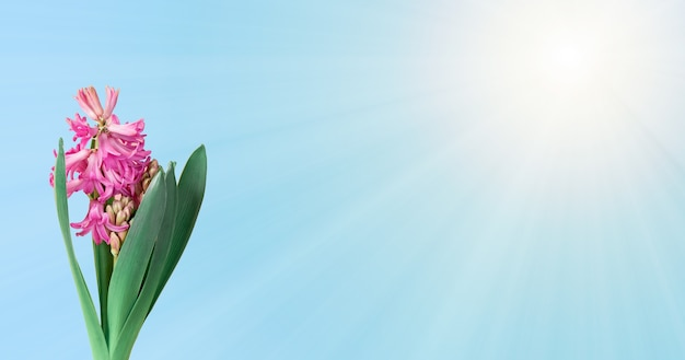 Spring composition with purple hyacinth flower and sun rays on blue background