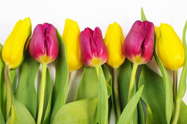 春の構成。白地に黄色と紫のチューリップ。春の背景。女性の日
