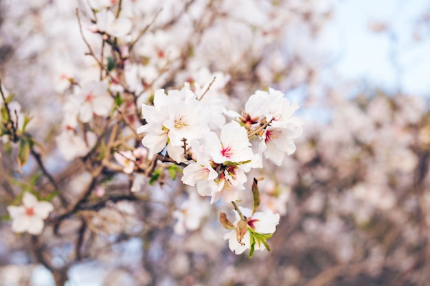 Spring concept. almond flowers.