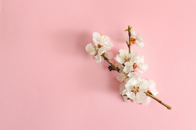 Spring concept. a branch of apricot on a pink background.