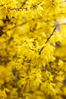 Spring concept, branches of blossoming forsythia against the sky.