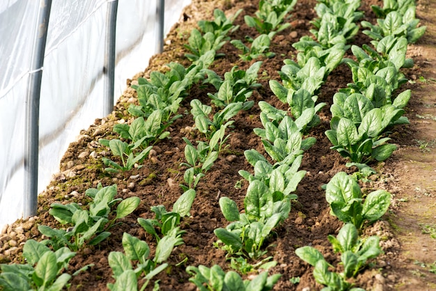 Spring crop of spinach growing in a greenhouse