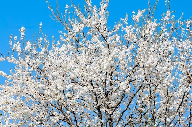 봄. 푸른 하늘 배경에 꽃이 만발한 체리의 왕관.