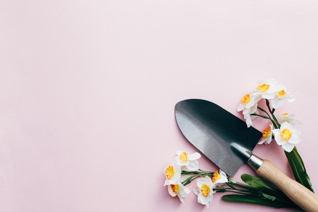 Весенние нарциссы с небольшой садовой лопатой. розовый фон.