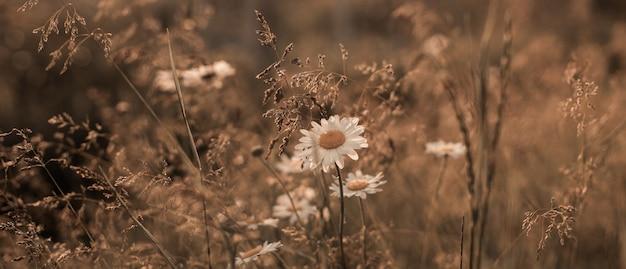 Весенние ромашки цветут в поле. красивое золотое поле луговая трава, в лучах заката, природа летний пейзаж, макро крупным планом